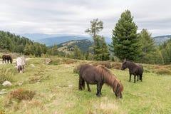 Лошади и пони на paddock, Австрия Стоковое Фото