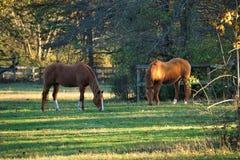 Лошади каштана в выгоне Стоковая Фотография