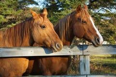 Лошади каштана рассматривая загородка стоковое изображение rf