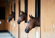 Лошади каштана смотря из стойла стойки стоковые изображения