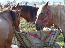 Лошади которые едят сено в рынке животных в Румынии Стоковые Изображения RF