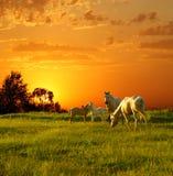 Лошади на заходе солнца Стоковые Фотографии RF