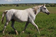Лошади на зеленом поле Стоковая Фотография
