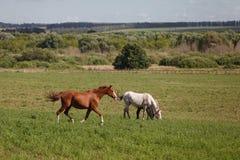 Лошади на зеленом поле Стоковые Изображения RF