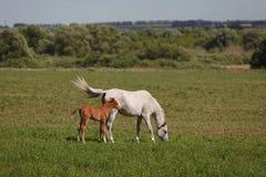 Лошади на зеленых поле/конематке и ее осленке Стоковое Изображение RF