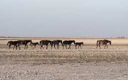 Лошади на лотке Makgadikgadi, лотке Nwetwe в Ботсване стоковое фото rf