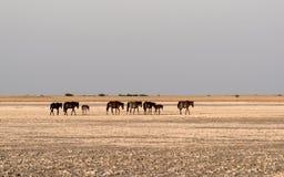 Лошади на лотке Makgadikgadi, лотке Nwetwe в Ботсване стоковое изображение rf