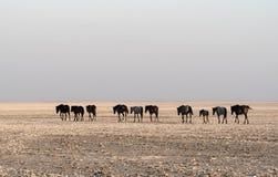 Лошади на лотке Makgadikgadi, лотке Nwetwe в Ботсване стоковые фото