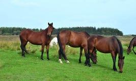 Лошади на луге в Ирландии стоковое фото rf