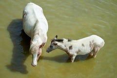 Лошади на пруде Стоковое Изображение RF