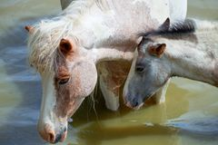 Лошади на пруде Стоковое Изображение