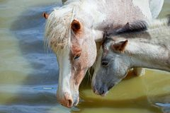 Лошади на пруде Стоковая Фотография RF
