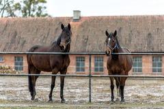 Лошади на paddock на ферме в восточной Польше Стоковые Изображения