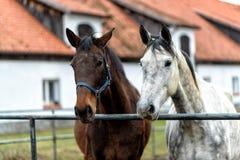 Лошади на paddock на ферме в восточной Польше Стоковое Фото