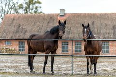 Лошади на paddock на ферме в восточной Польше Стоковое Изображение RF