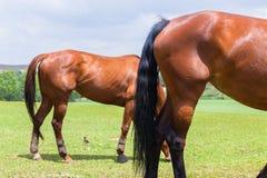 Лошади 2 ноги кабелей Outdoors Стоковое Изображение