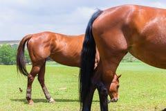 Лошади 2 ноги кабелей Outdoors Стоковые Изображения RF