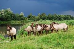 лошади одичалые Стоковое фото RF