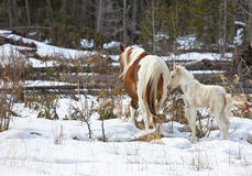 лошади одичалые Стоковые Изображения