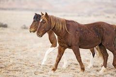 лошади одичалый Вайоминг Стоковая Фотография