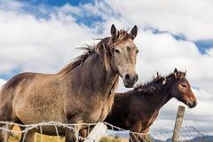 Лошади около национального парка Connemara, Co galway Ирландия Стоковая Фотография