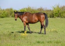 Лошади пасут в выгоне Лошади Paddock на ферме лошади Wal Стоковые Фотографии RF