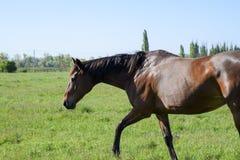 Лошади пасут в выгоне Лошади Paddock на ферме лошади Wal Стоковая Фотография