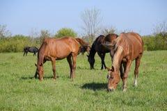 Лошади пасут в выгоне Лошади Paddock на ферме лошади Wal Стоковые Изображения RF