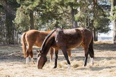 2 лошади пасут в луге около лошадей Twain леса красивых стоковое изображение