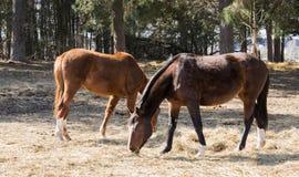 2 лошади пасут в луге около лошадей Twain леса красивых стоковые изображения rf