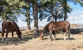 2 лошади пасут в луге Лошади Twain красивые стоковые фотографии rf