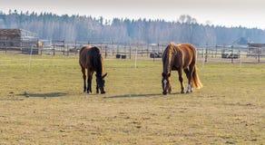 2 лошади пасут в луге Лошади Twain красивые стоковое изображение rf