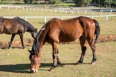Лошади пасут в поле Стоковое Изображение