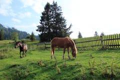 2 лошади пасут на выгоне около деревянной загородки и елевых деревьев стоковые фотографии rf