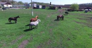 Лошади пасут на мелком крестьянском хозяйстве сток-видео