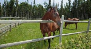 Лошади пася в выгоне Стоковая Фотография