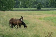 2 лошади пася в поле в дожде или снеге Стоковое фото RF