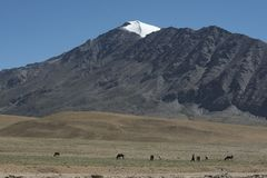 Лошади пася наряду с озером на пути к озеру Tsomoriri Стоковое фото RF