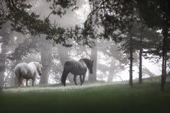 Лошади пася на выгоне на туманном восходе солнца Стоковые Фотографии RF