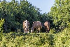 3 лошади пася на луге в районе дикой природы Стоковые Фото