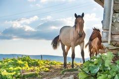 Лошади пася на поле Стоковое Изображение