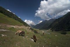 Лошади пася около Sonmerg в Kasmir Стоковое Изображение RF