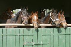 Лошади племенника молодые рассматривая деревянная дверь амбара в конюшне на ранчо на солнечный летний день стоковое изображение