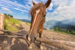 Лошади, подавая на траве на выгоне высоко-земли прикарпатском Стоковое фото RF