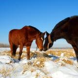 лошади поля целуя снежок Стоковые Изображения RF