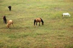 лошади поля Стоковое Изображение RF