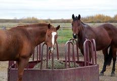 2 лошади прерии смотрят вверх от еды сена Стоковое Изображение RF