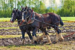 Лошади проекта вспахивая поле Стоковое Изображение RF