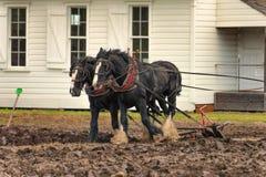 Лошади проекта вспахивая поле Стоковые Фотографии RF