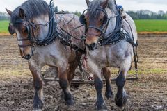 Лошади проекта вспахивая поле Стоковые Изображения